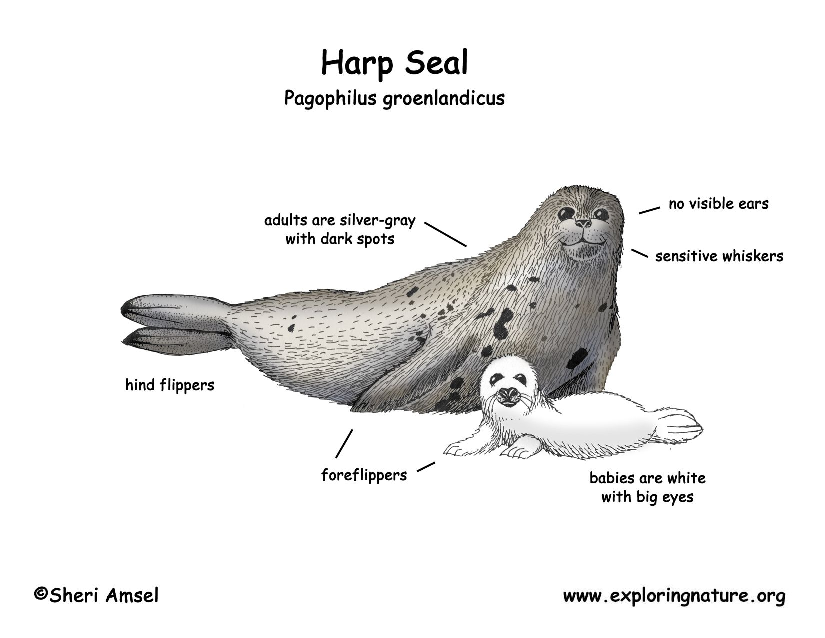 Pin By Kathy Nielsen On Arctic Unit Harp Seal Seal Cartoon