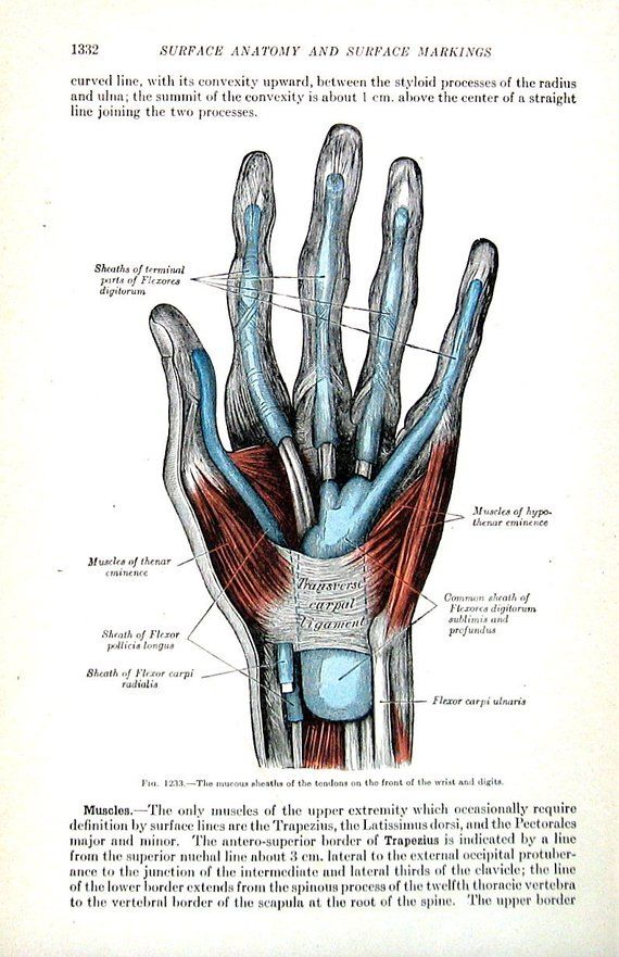 The Human Hand Mucous Sheaths Of Tendons 1918 Human Anatomy