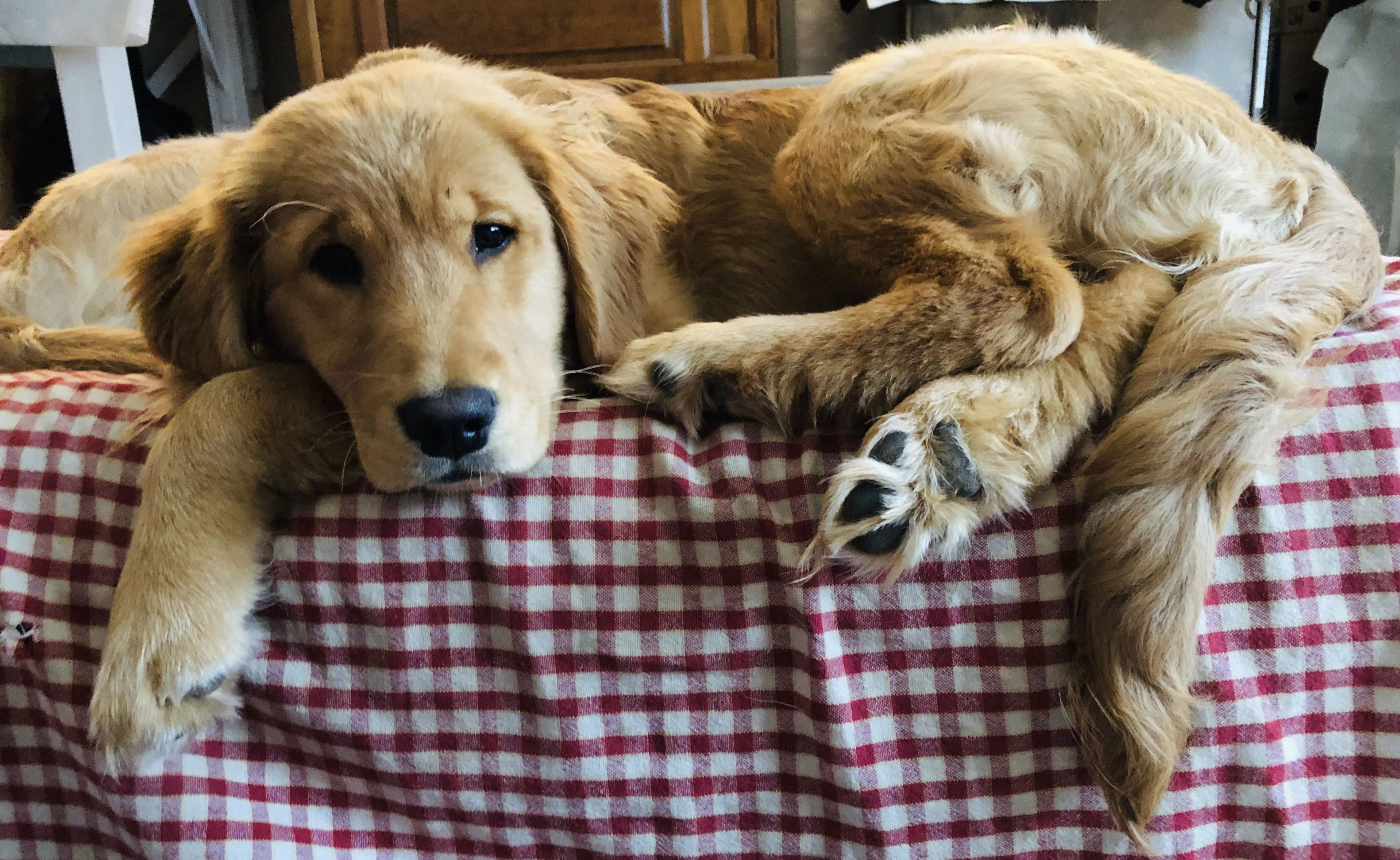 Golden Retriever Puppies Bristol Vt References