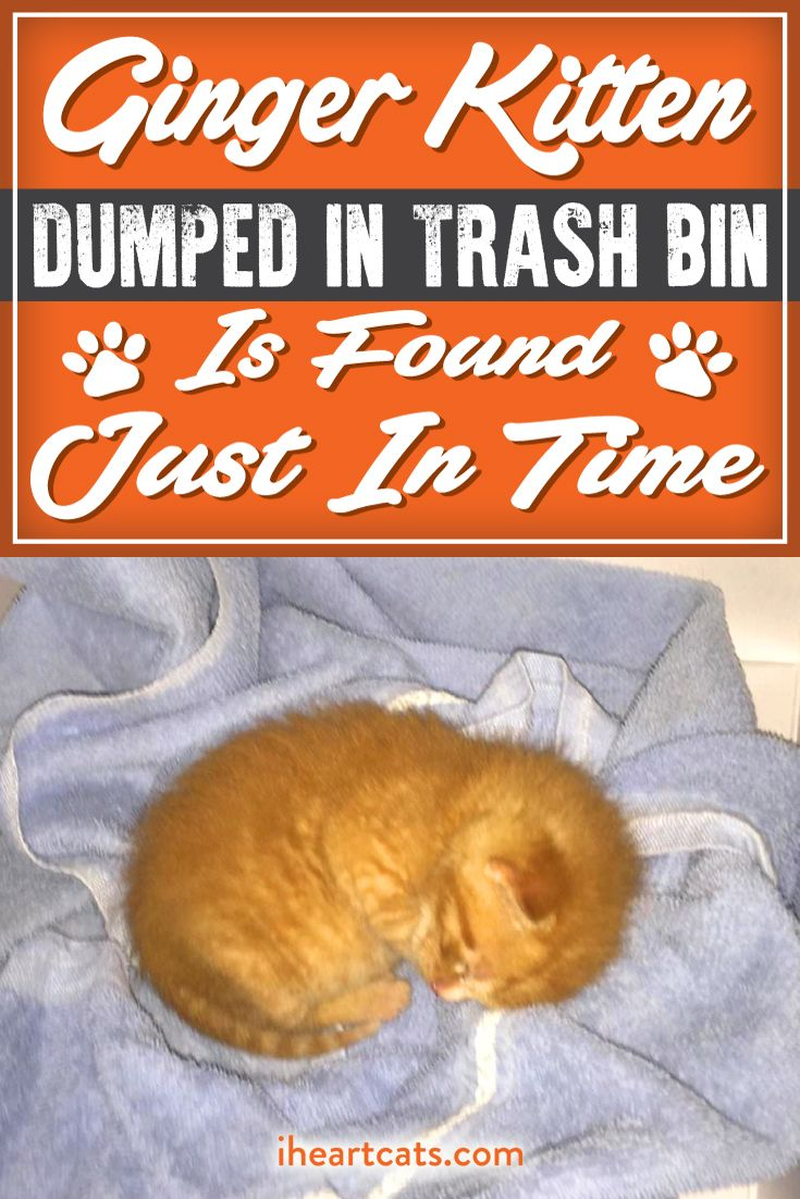 Ginger Kitten Dumped In Trash Bin Is Found Just In Time Kitten Benadryl For Cats Kitten Rescue