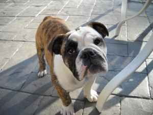 2000 Reward Stolen English Bulldog Stolen From Woodinville June 2011 See Picture Below H As F Ig U R E 8 O N English Bulldog Pets Bulldog