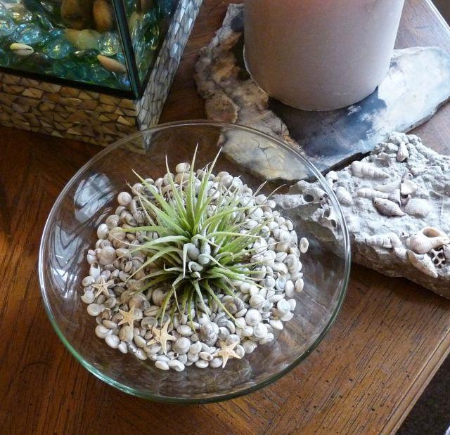 tillandsien wurzellose luftpflanzen in terrarien muscheln glas sch ssel deko. Black Bedroom Furniture Sets. Home Design Ideas