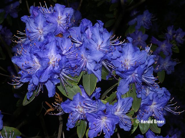 rhododendron crater lake augustinii barto blue x blue bird 4 5 5of em m 4 5 3 4. Black Bedroom Furniture Sets. Home Design Ideas