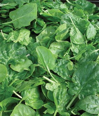 Spinach Double Choice Hybrid Spinach Seeds Vegetables