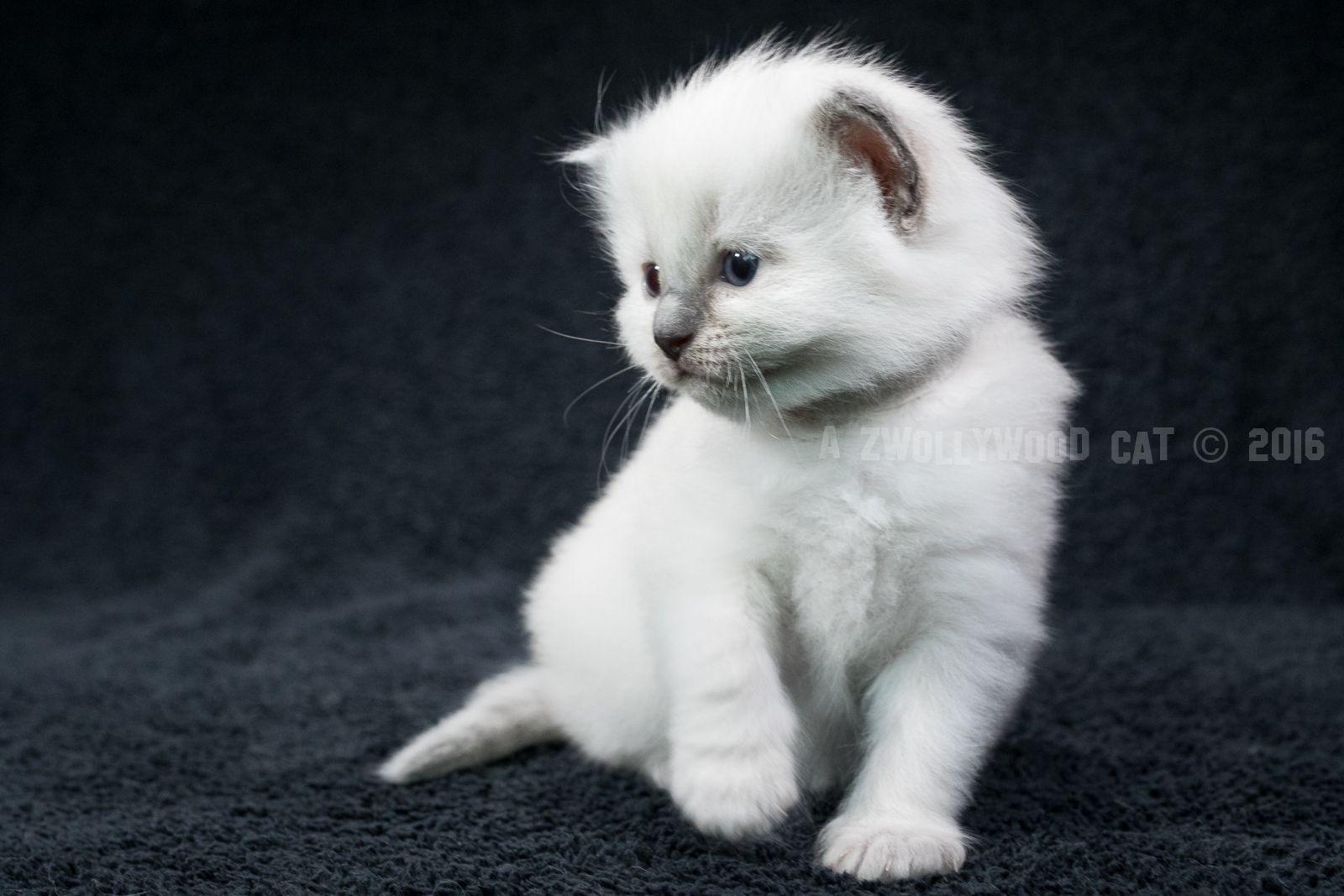 2016: Saphira A Zwollywood Cat.  3 Weeks old. Ragdoll kitten, blue colourpoint. Ragdoll kitten.