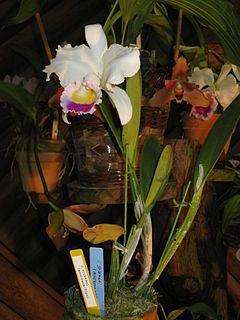 Cattleya trianae - Wikipedia, la enciclopedia libre