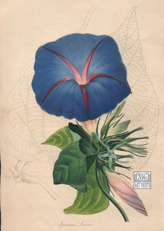 Paxton S Blue Dawn Morning Glory Botanical Print 1800s Antique Hand Colored Print By Ngartprints H Antique Botanical Print Botanical Wall Art Botanical Prints