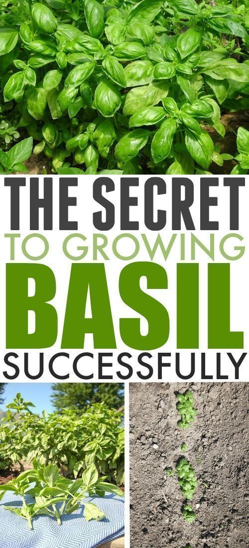 The Secret to Growing Basil Successfully | The Creek Line House