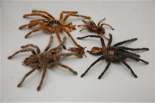 盘丝洞里的spider Man 郑宏幸 Aranas
