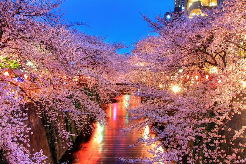 Japan 10 Copyright Agustin Rafael Reyes Blossom Trees Cherry Blossom Japan Cherry Blossom Tree