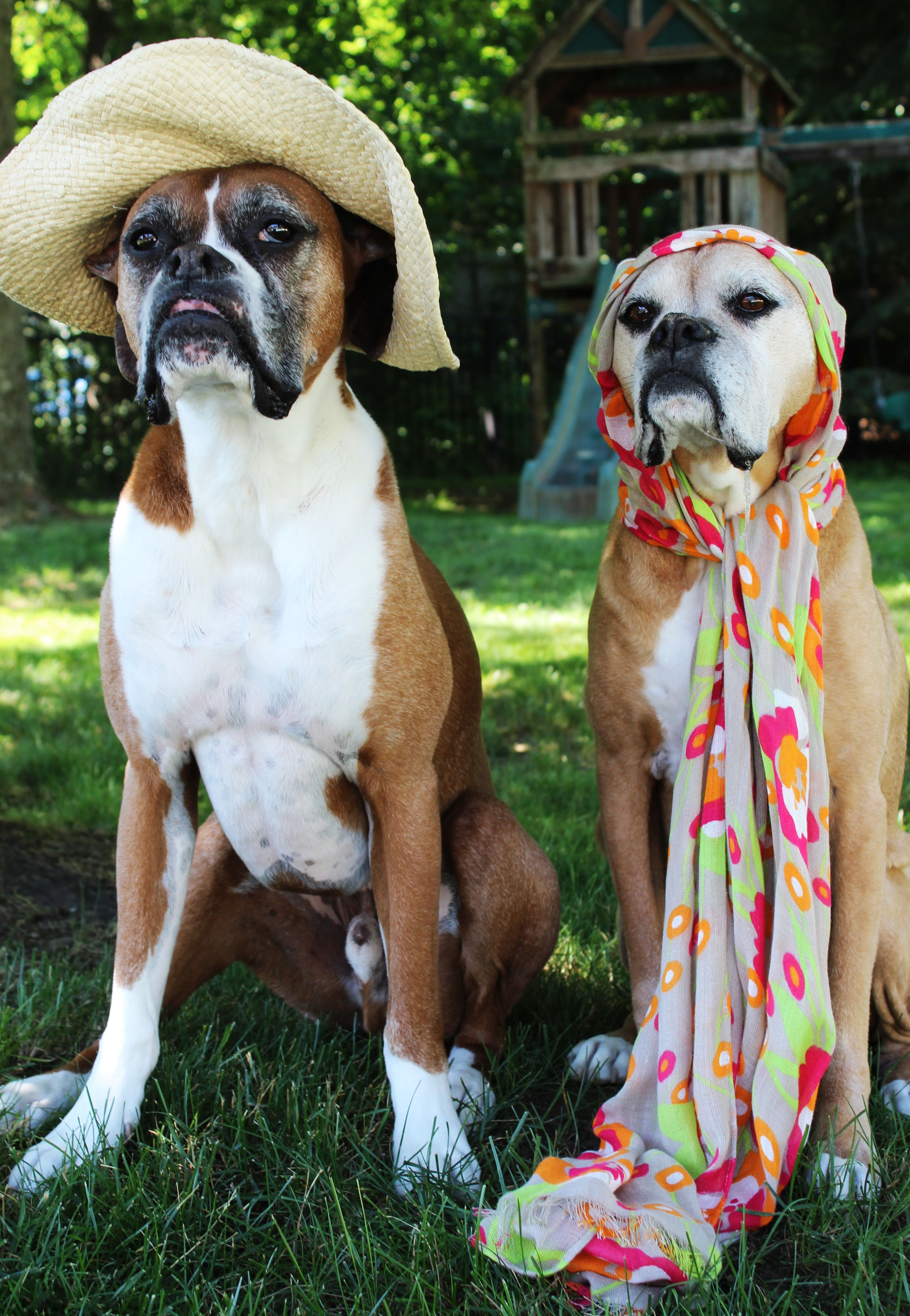 Kobe And Sophie Do Driving Miss Daisy Boxer Style Boxer Dogs Boxer Puppies Boxer Love