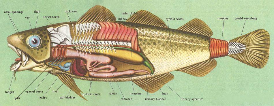 anatomy of the cod | fabbri. illustrated encyclopedias | Pinterest