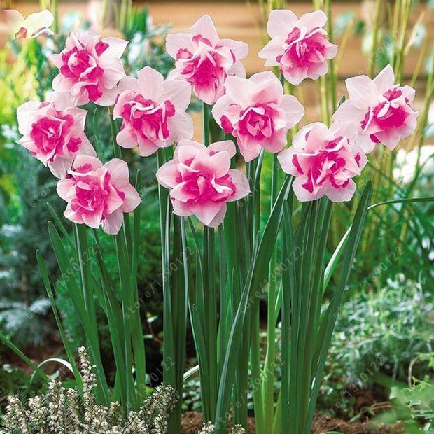 100pcs/bag flower daffodil,daffodil seeds(not daffodil bulbs) bonsai flower seeds aquatic plants double petals for home garden