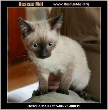 California Siamese Rescue Adoptions Rescueme Org Siamese Rescue Oriental Cat Siamese