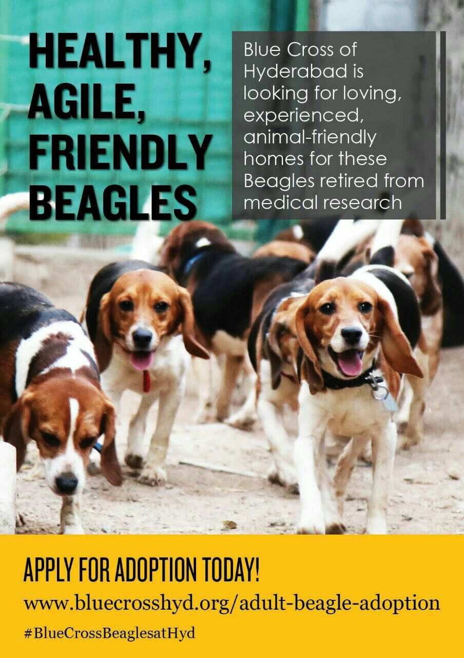 We Have Atleast 30 Beagles Availble For Adoption In Mumbai Dogs Will Vaccinated N Sterlised As Well All Rescued By Actress Amala N Nagarj Beagle Dogs Adoption
