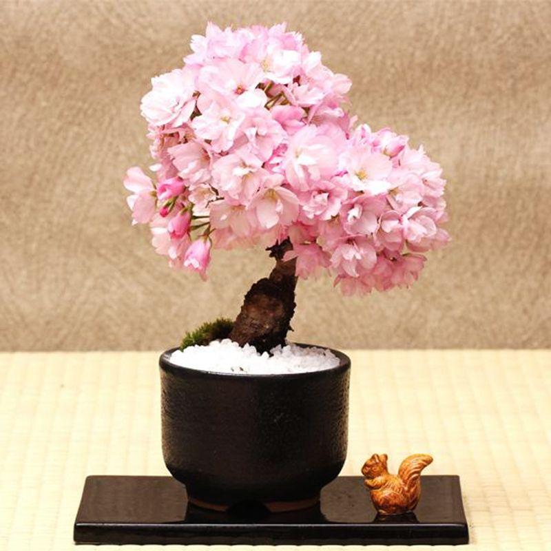 Pcs Rare Pink Japanese Sakura Seeds Indoor Cherry Blossom Bonsai Flower Sakura Tree Diy Seeds 8 Cherry Blossom Bonsai Tree Bonsai Tree Tree Seeds