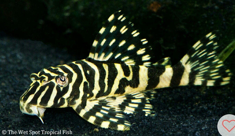 L134 Leopard Frog Pleco Animaux Aquatiques Aquarium Poisson Animaux