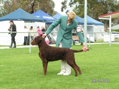 Pin On Curly Coated Retrievers