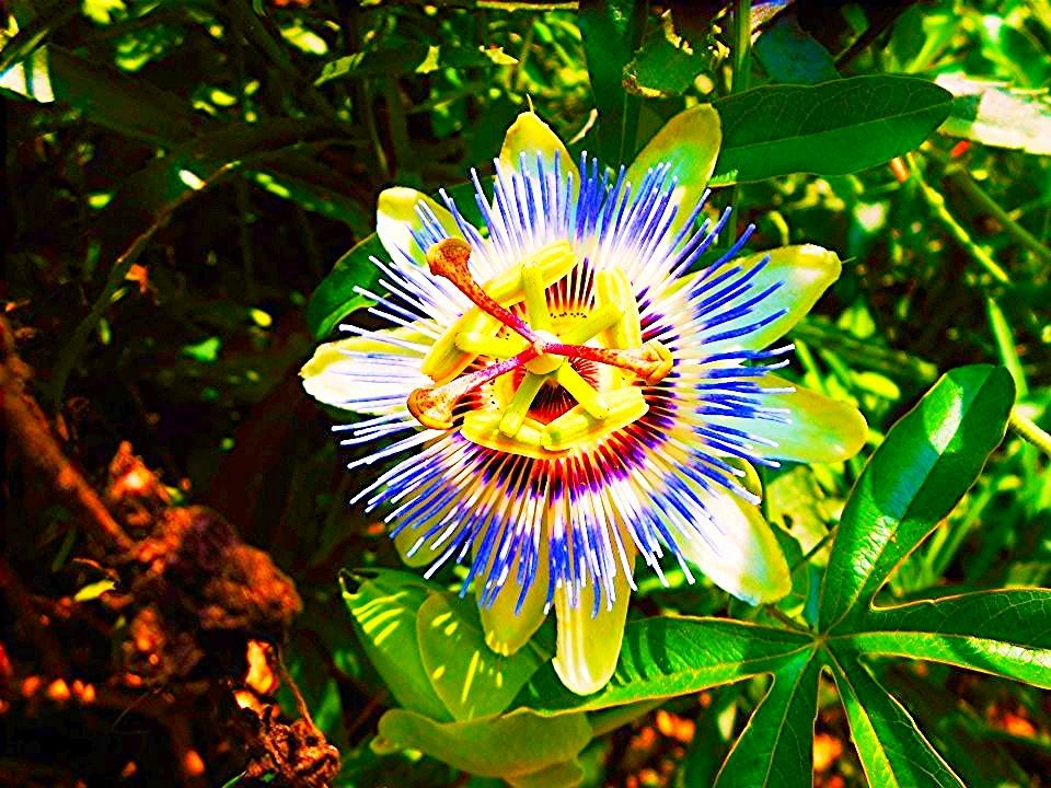 A unique flower I found last summer. A Passion flower I believe. It looks inside out...