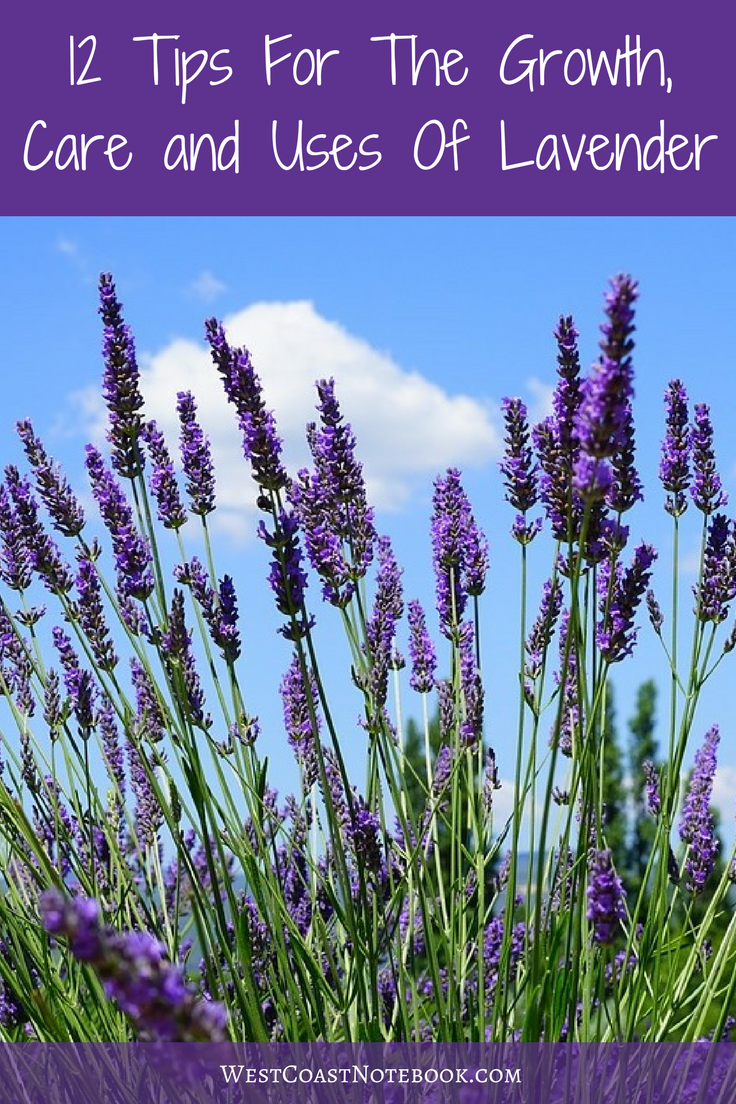 12 Tips For The Growth Care And Uses Of Lavender Plants Lavender Flowers Lavender Plant