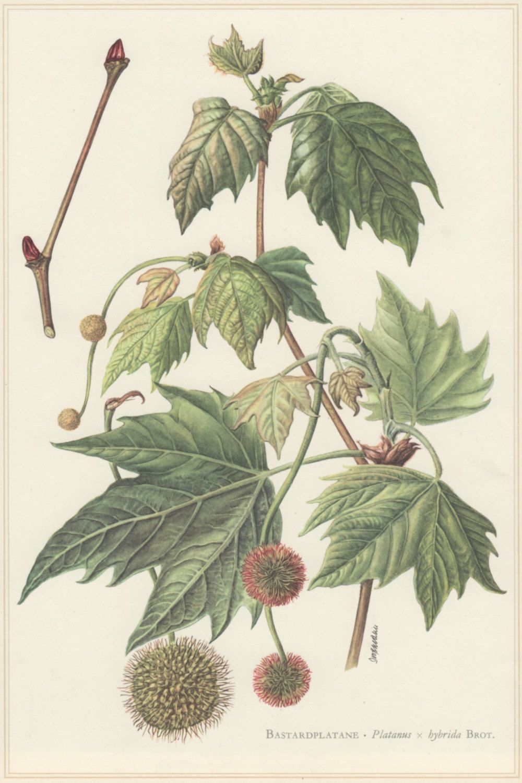 Vintage Grabado Botánico, Platanus × acerifolia, P. Hybrida, plano ...
