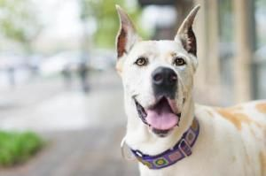 Adopt Ginger On Great Dane Dogs Animals Pets
