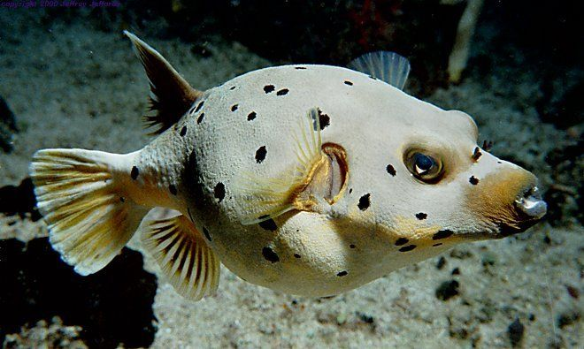 Black spotted puffer fish it looks like a dog animals for Water dog fish