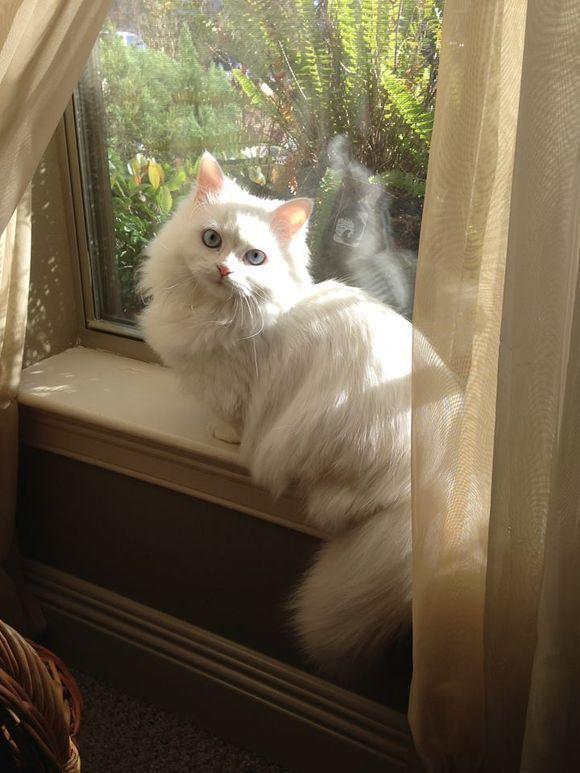 munchkin cat-Beautiful Bella