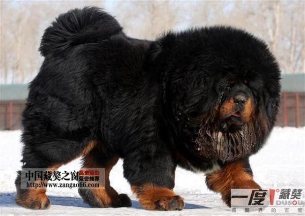 Dogue du Tibet ou Mastiff Tibétain | Animals | Pinterest | Tibet ...