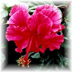 Hibiscus Bush Carnation Double Tropical Hibiscus Pride Of Hankins