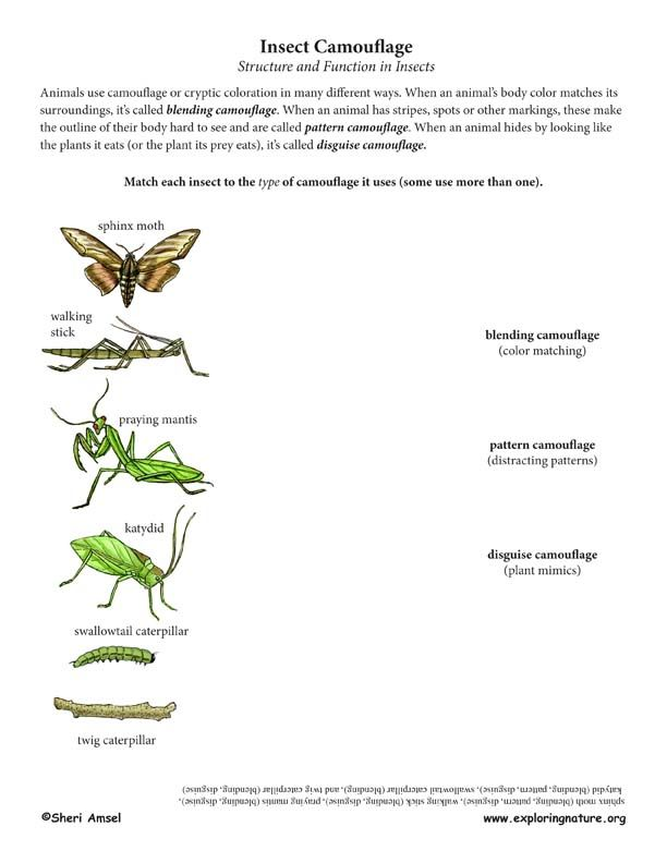 worksheet for categorizing insects by the types of camouflage they use structure function. Black Bedroom Furniture Sets. Home Design Ideas