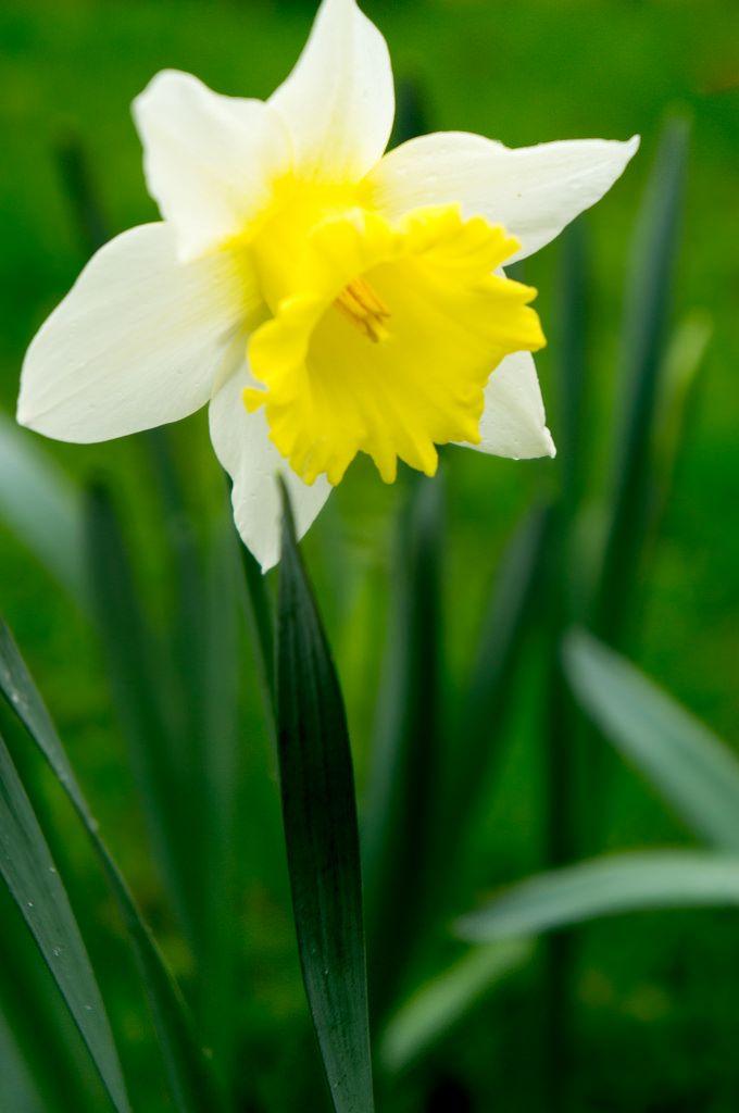 Day 2 Nature Challenge Daffodil Daffodil Flower Daffodils Pretty Flowers