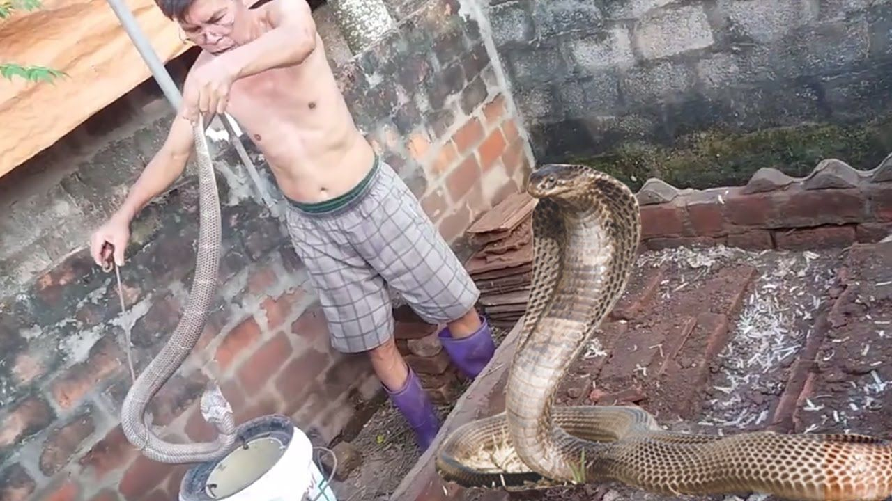 Amazing catching cobra snakecatching cobra snake by hands