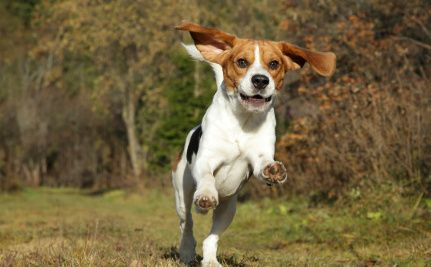 Beagle Puppies Saved From Animal Testing in India Beagle