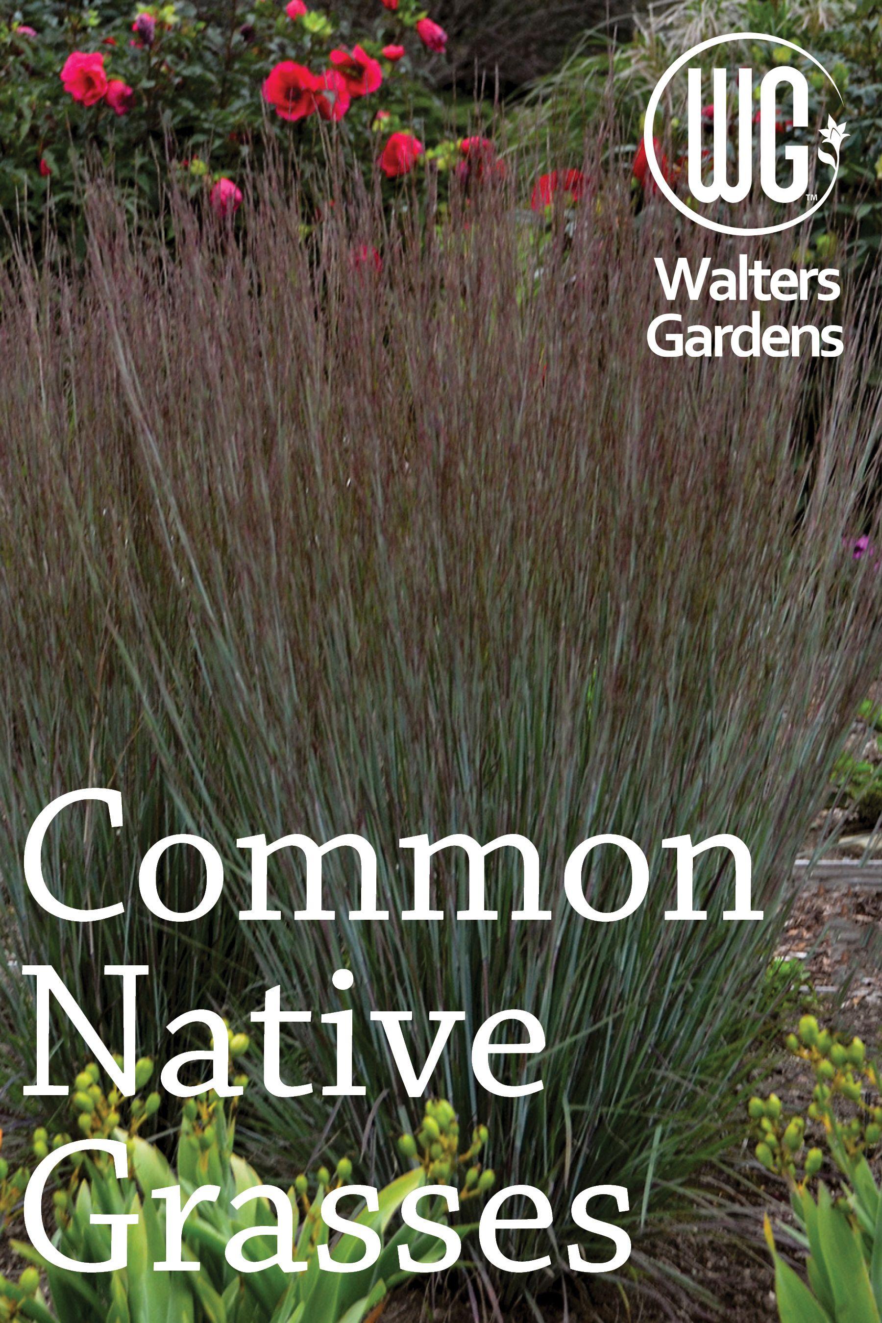 Common Native Grasses Shade Tolerant Grass Grass Ornamental Grasses