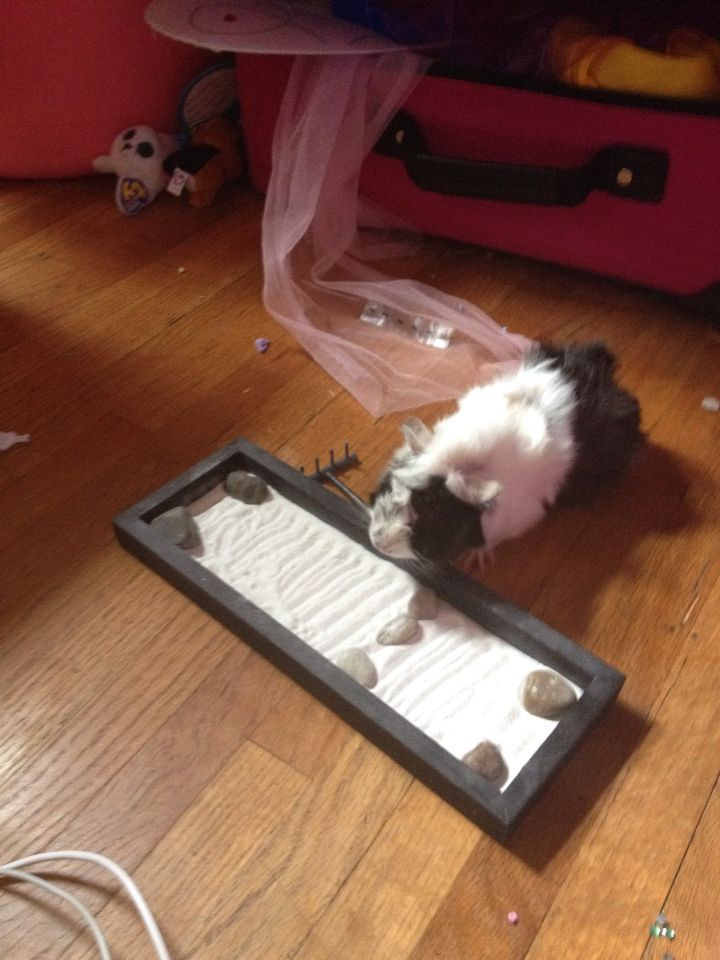 A guinea pig raking his Zen Garden. [photo credit goes to @chocomintpup16]