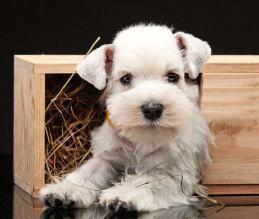 Unique Miniature Schnauzer Names For Male Or Female Schnauzer Puppy Miniature Schnauzer Miniature Schnauzer Puppies