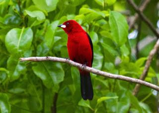 Tiê Sangue_ramphocelus bresilius Brazilian Birds