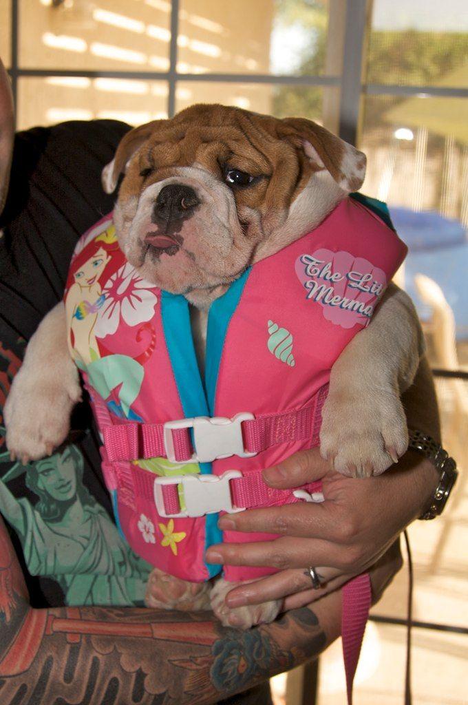 bulldog in a life jacket costumes pinterest animal