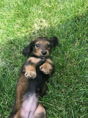 Dachshund Puppy For Sale In Peru Il Adn 37393 On Puppyfinder Com