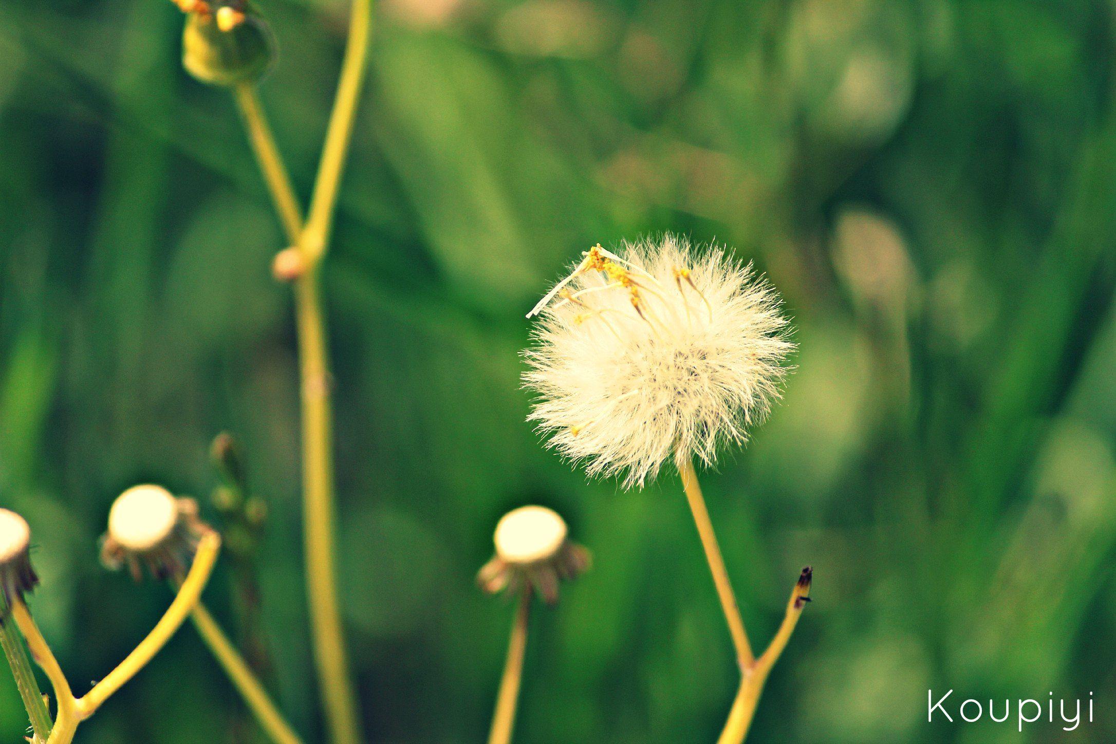 •visit my blog: koupiyi@tumblr.com The Blow Flower. 2013  Dandelion,Pusteblume,Blow Flower,
