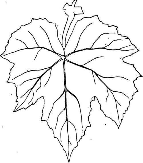 Grape Leaves Colouring Pages Leaf Template Grapevine Leaf Drawings