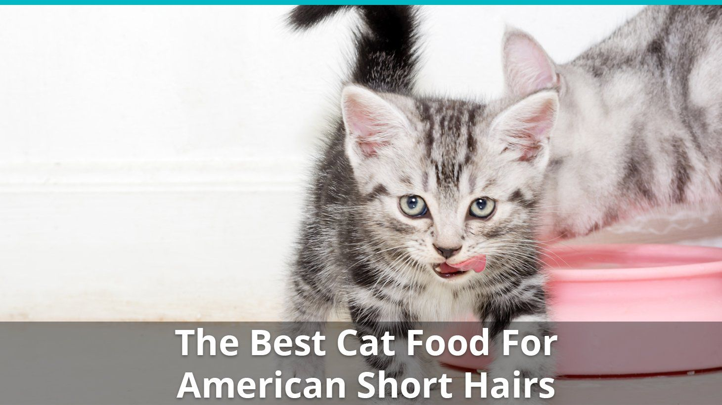 The Best Cat Food For American Shorthair Kittens Adults With Reviews Best Cat Food American Shorthair Kitten American Shorthair Cat