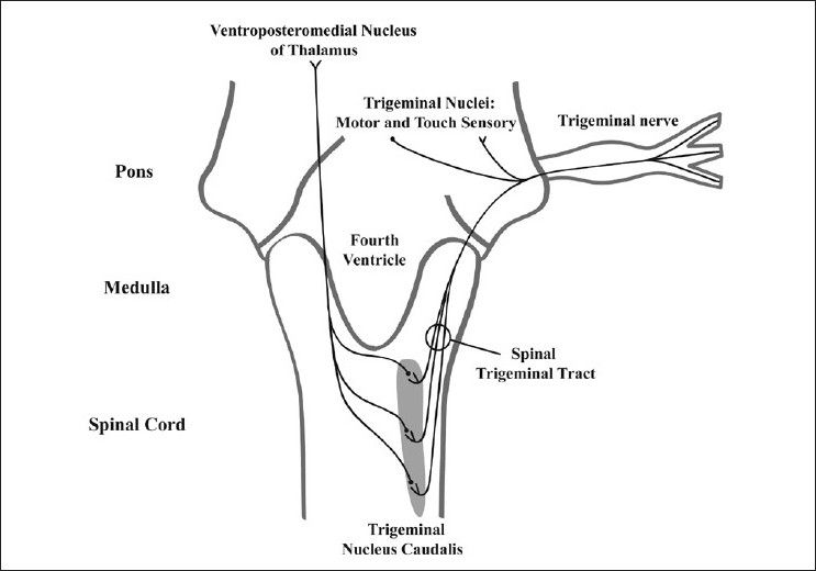 Figure 2: Trigeminal pain pathway. From the pons