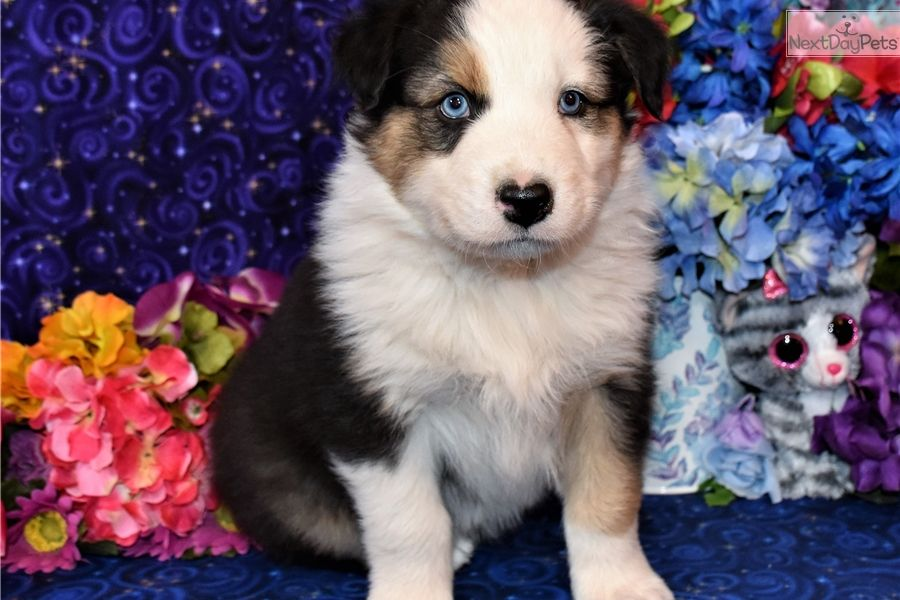 Australian Shepherd Puppy For Sale Near Albuquerque New Mexico