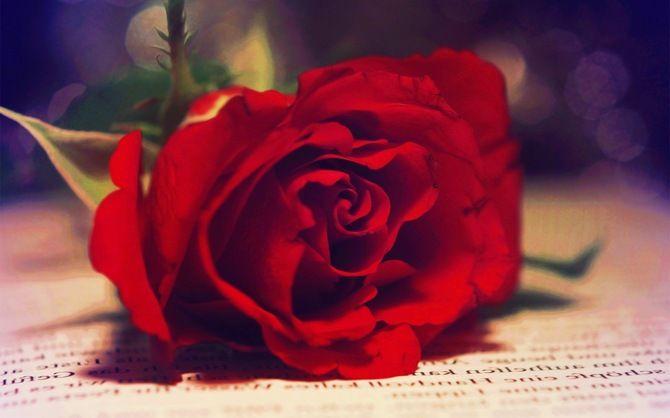макро, роза, красная, размытость, книга