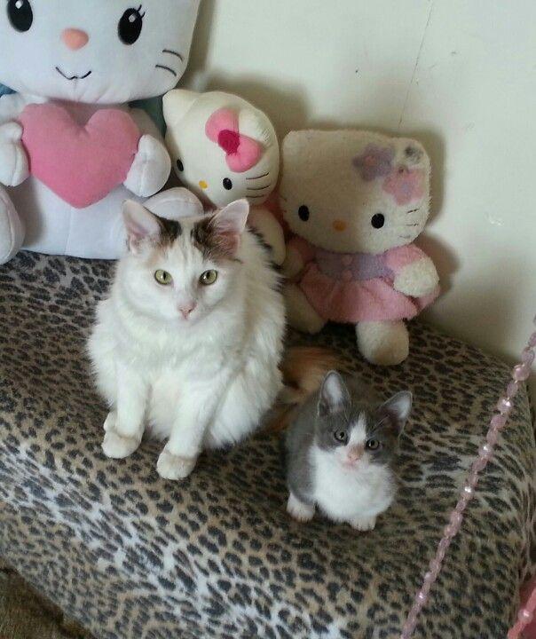 Regular cat vs Munchkin kitten Crisphorian Stuff