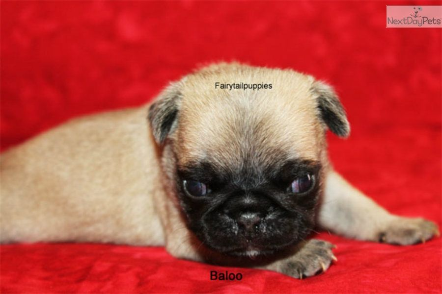 Pug Puppy For Sale Near Mcallen Edinburg Texas 57fef836 E8d1