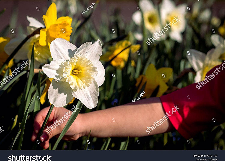 Blooming Blossom Daffodil Field Daffodil Narcissus Daffodils Florescence Flower Narcissist Narkissos Paperw Yellow Daffodils Daffodil Flower Daffodils