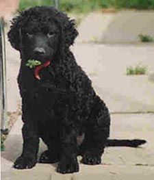 Curly Coated Retriever Puppy One Of The Best Kept Secrets Of The